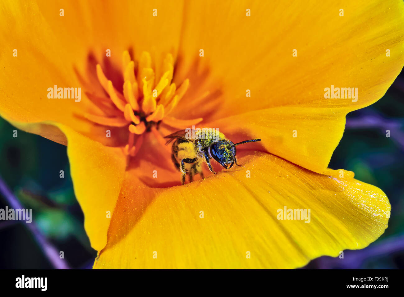 Bee pollinating a Mexican poppy, Arizona, USA - Stock Image