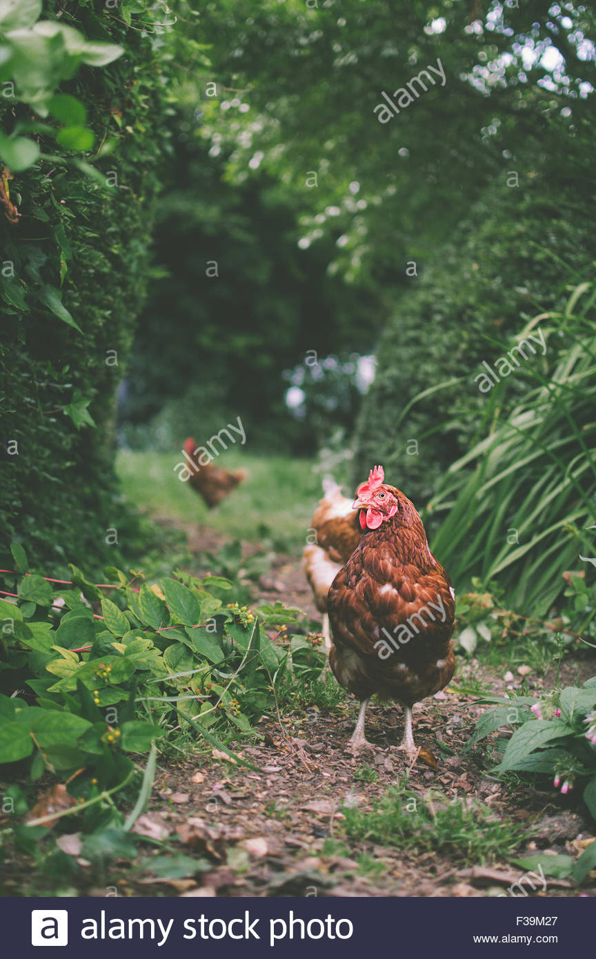 Free range chickens in a country garden, England, UK - Stock Image