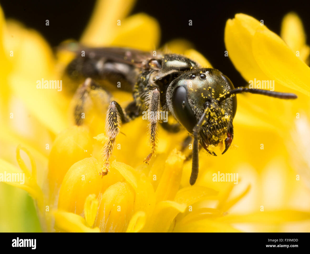 Dark Sweat bee (Lasioglossum) extracts pollen from a yellow flower - Stock Image