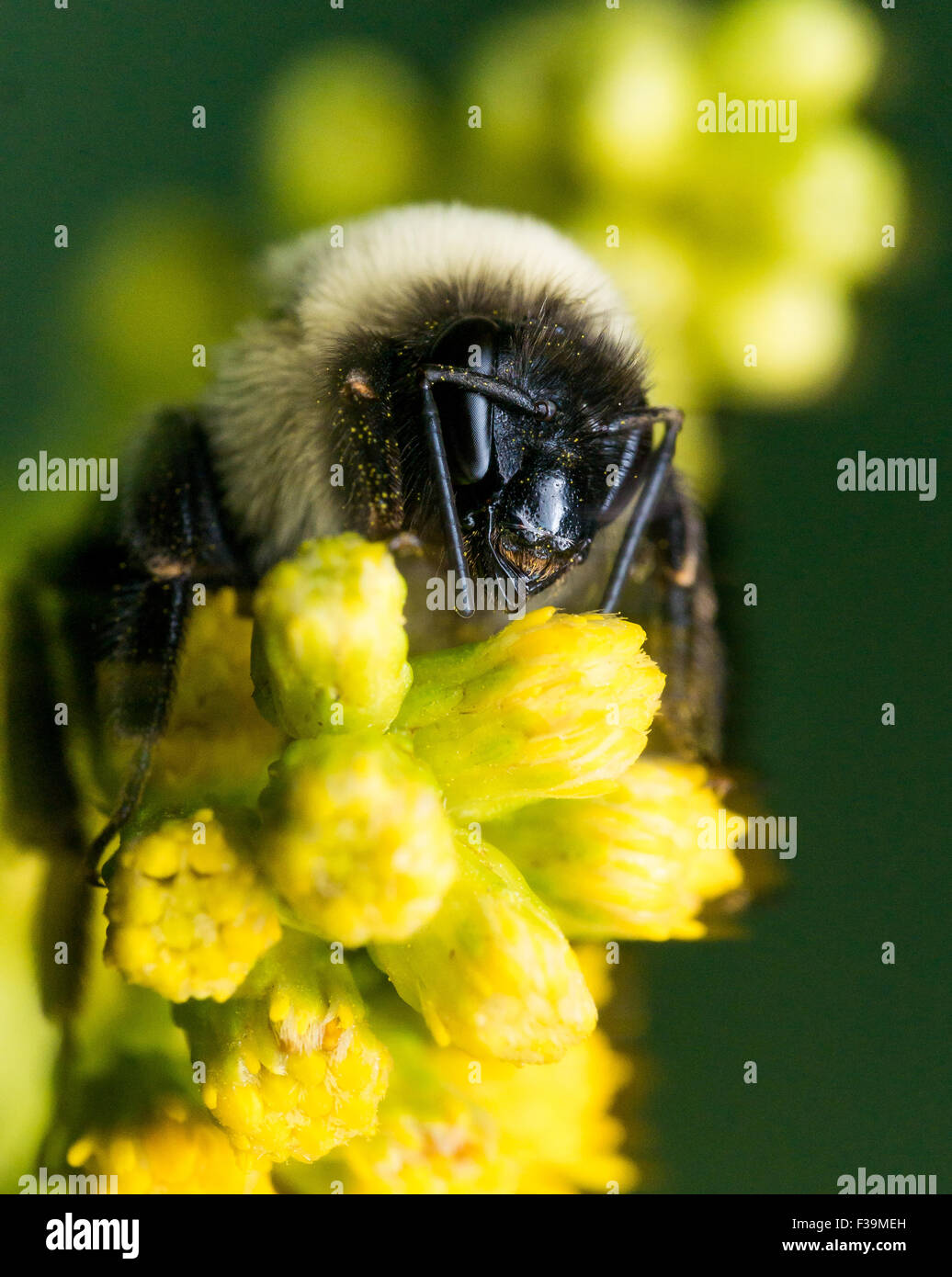 bumble bee with bright golden fur close up portrait - Stock Image