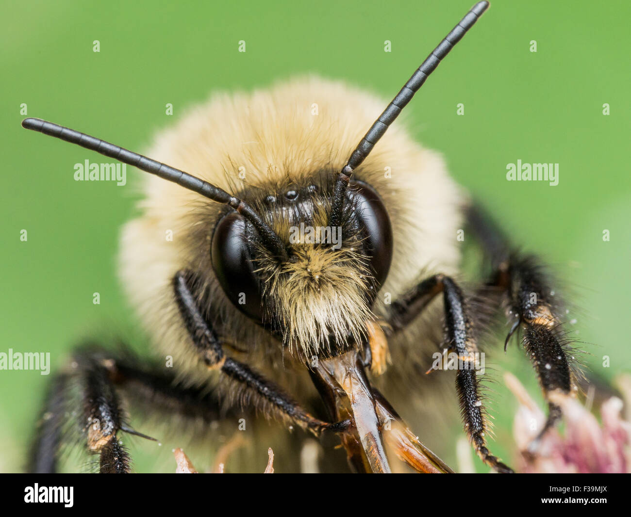 Yellow Bumble bee sticks out red mouth parts.  On Flower with green background. - Stock Image