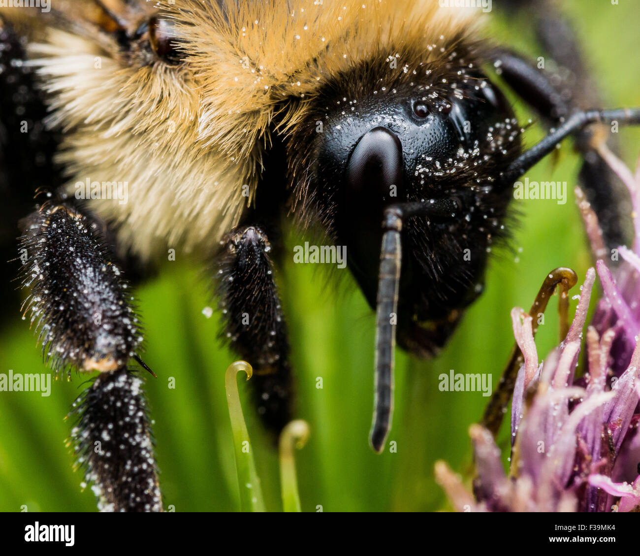 Bumble bee close up on green and purple flower - Stock Image