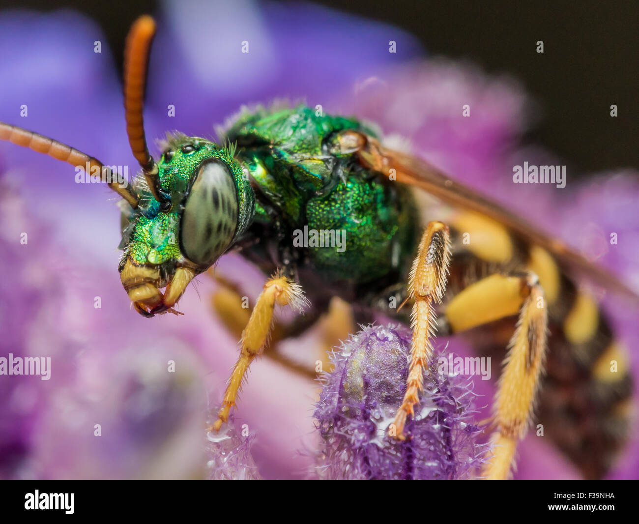 Metallic Green Sweat Bee on Purple Flower - Stock Image