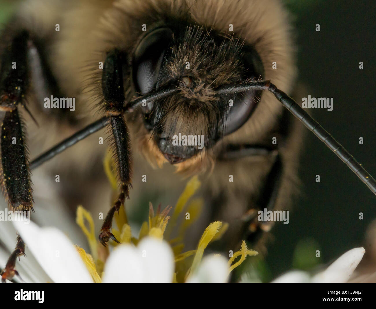 Bumble Bee Wipes Antenna - Stock Image