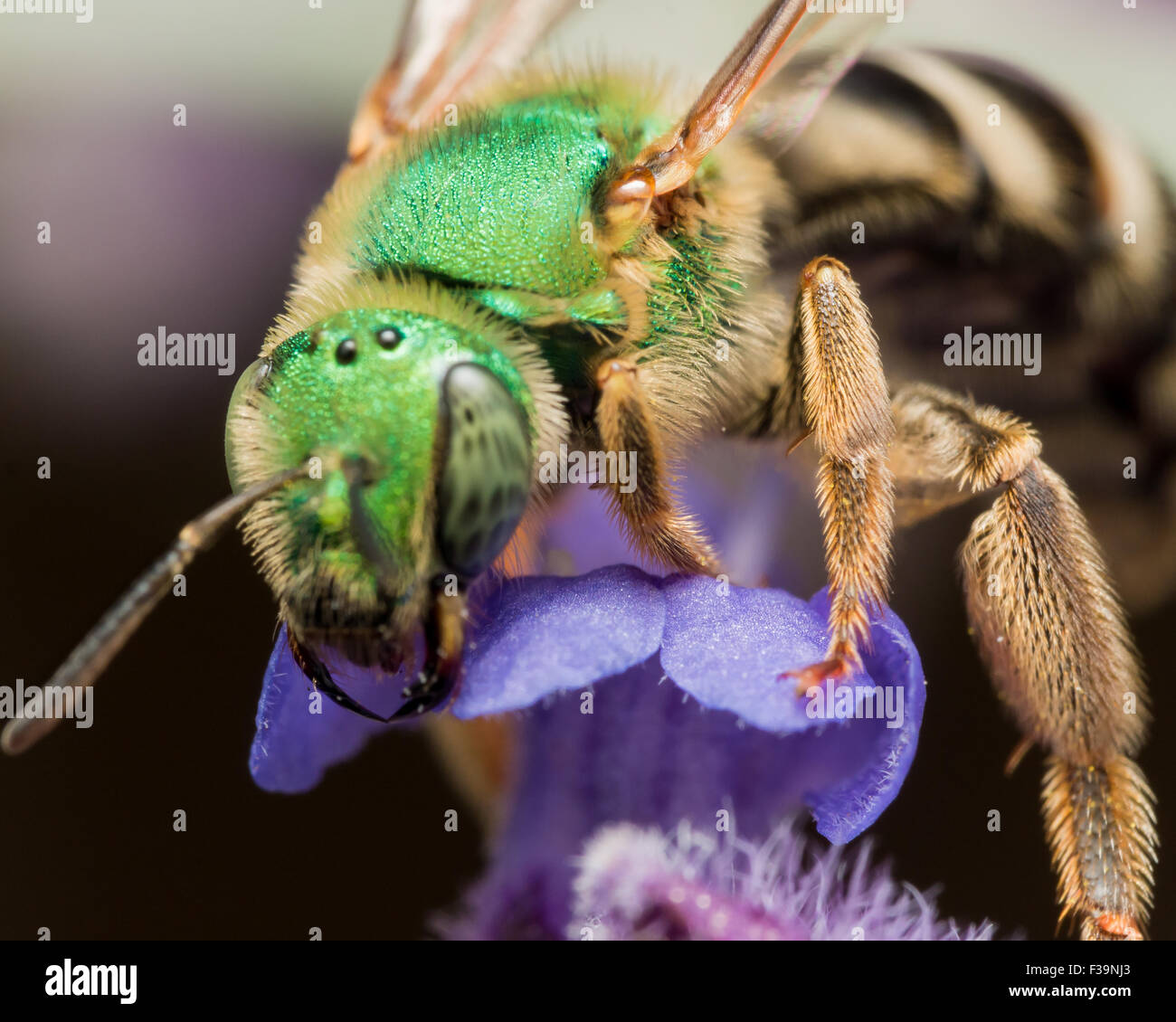 Green Metallic Sweat Bee on Purple flower - Stock Image