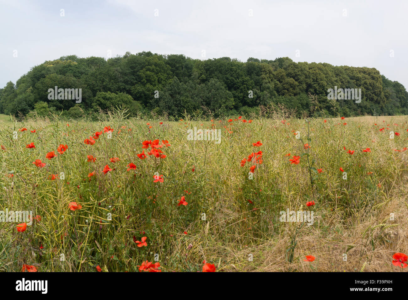 Mametz Wood scene of intense fighting during the Battle of the Somme in 1916 between 36th Welsh Division and Prussian - Stock Image