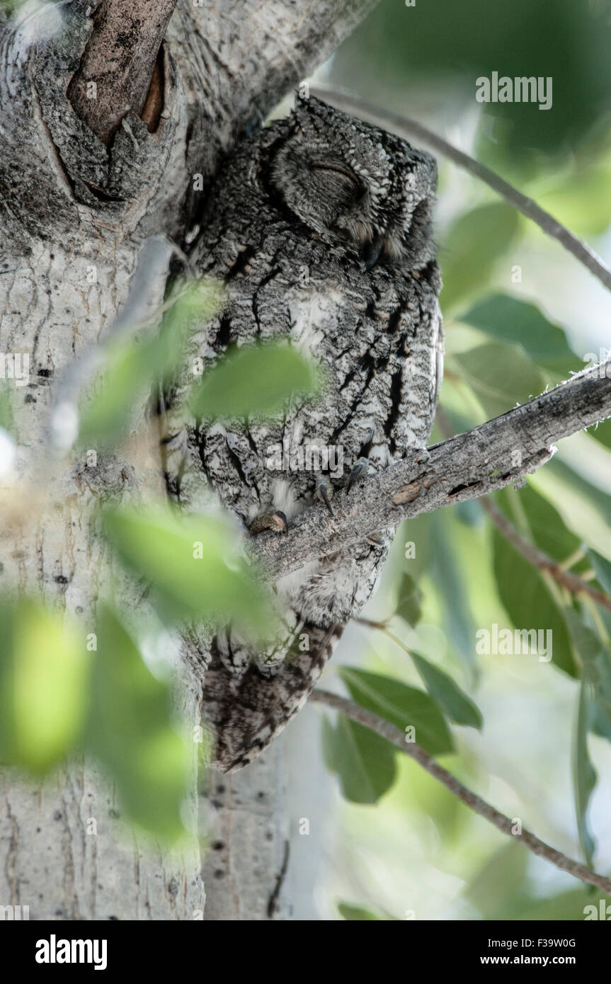 Camouflaged African Scops-Owl, sitting on a branch, Etosha National Park, Namibia, Africa - Stock Image