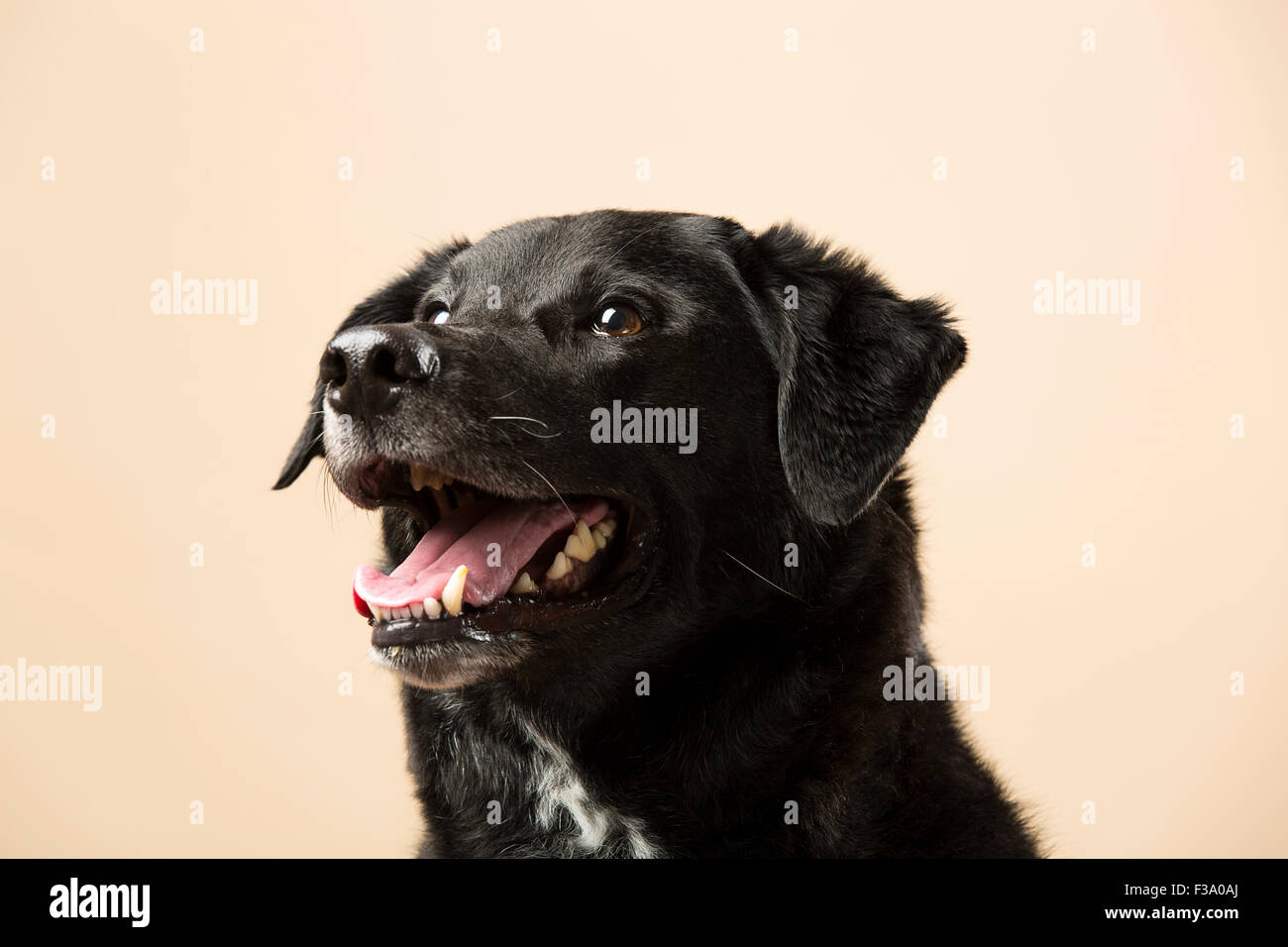 Portrait of a black dog smiling against a cream backdrop - Stock Image