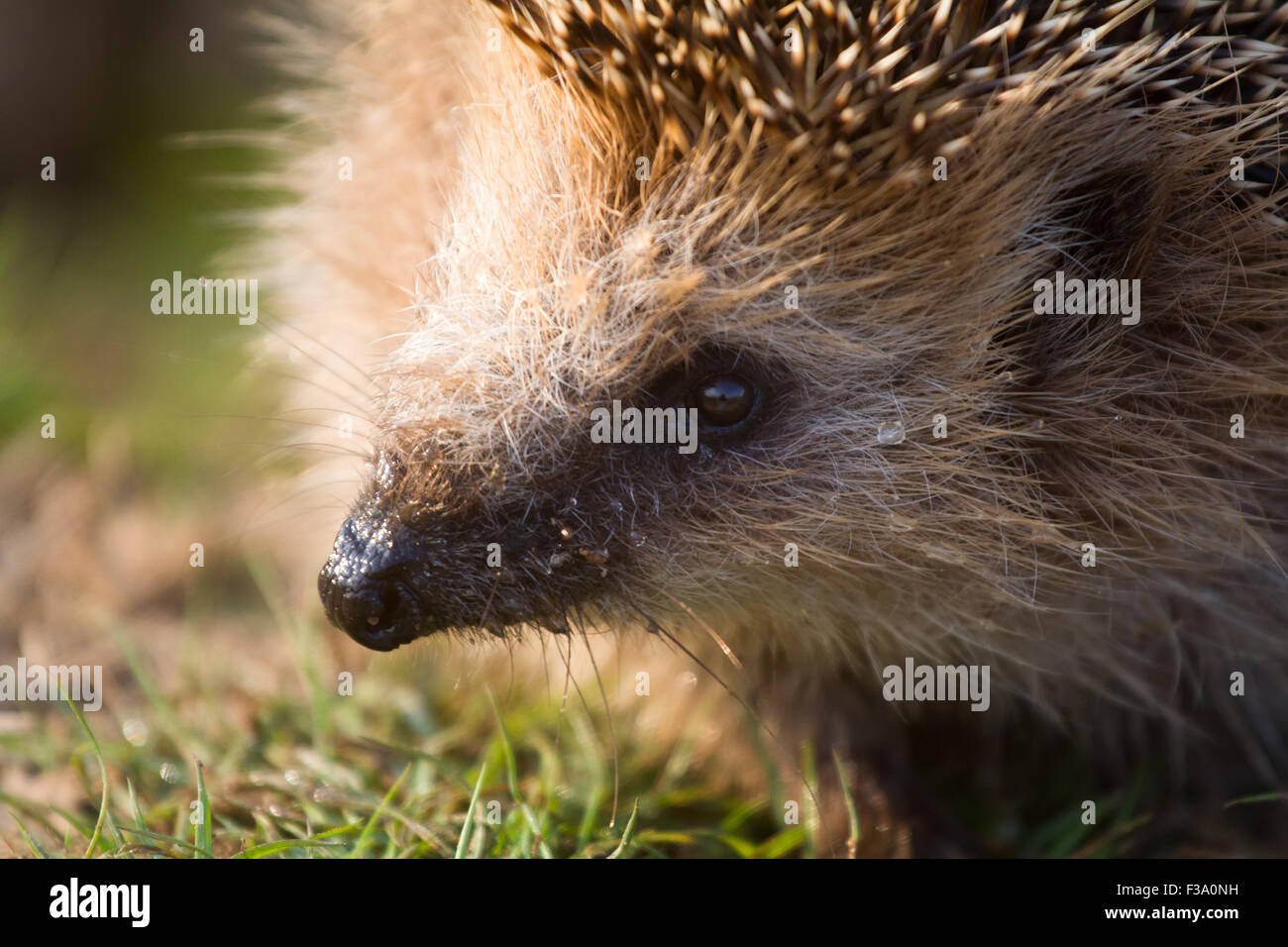 insectivorous animal a hedgehog largely close up - Stock Image