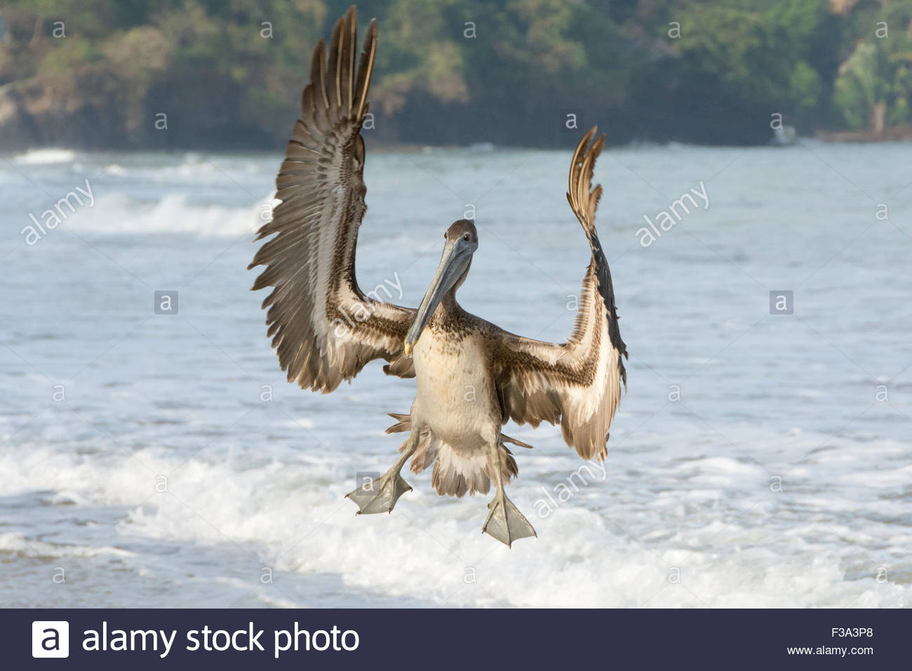 An immature Brown Pelican coming in for a beach landing with wings extended and webbed feet dangling. - Stock Image