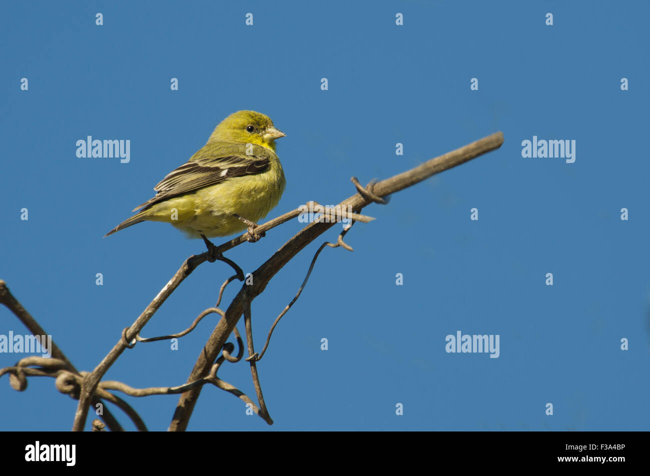 American Goldfinch (Carduelis tristis) female perched in tree,  Healdsburg, California, USA - Stock Image