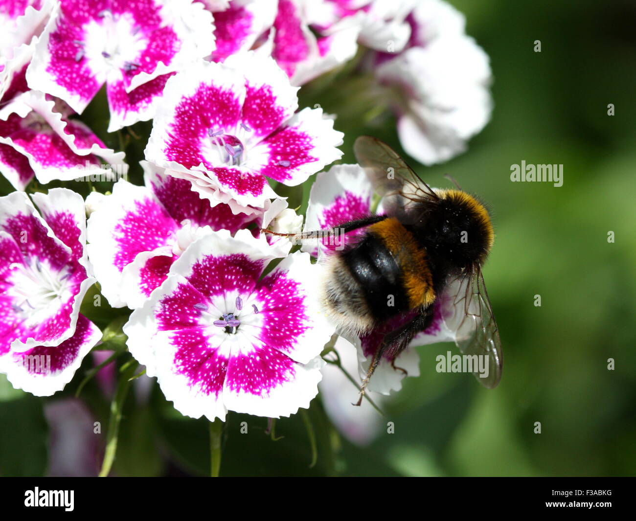 Bumble Bee on flower - Stock Image