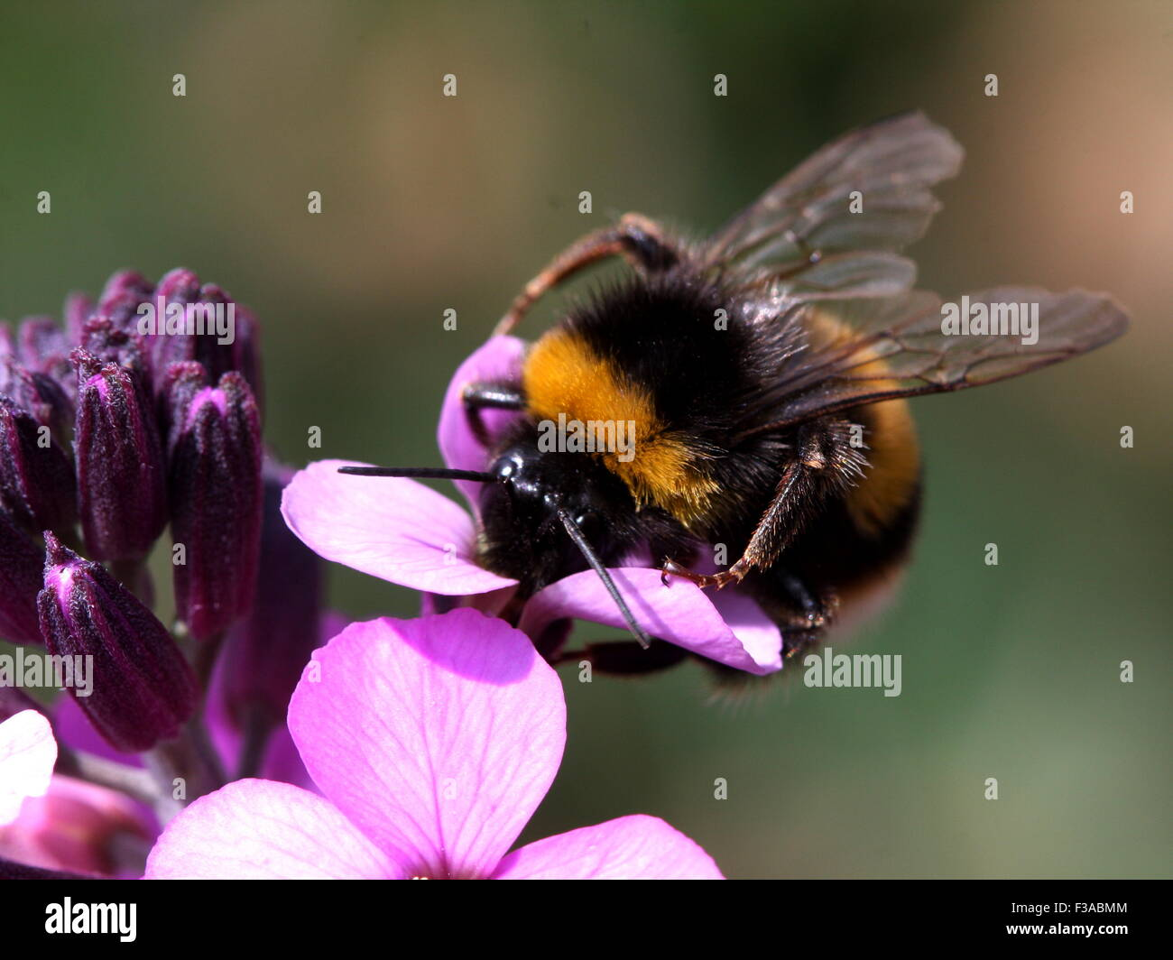 Bumble Bee on flower Stock Photo