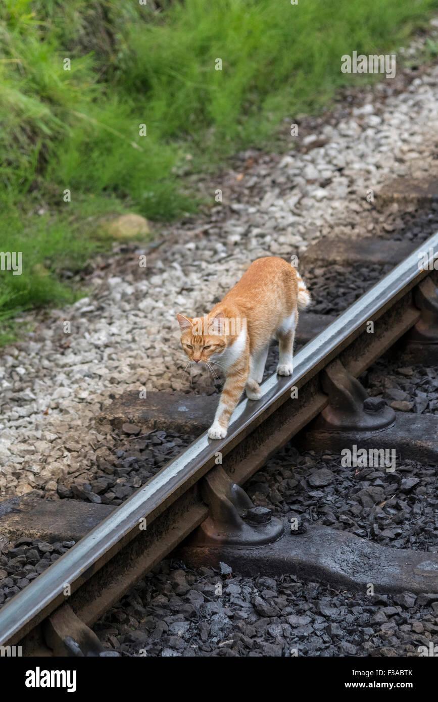 Ginger cat on rail railway line tightrope nine lives - Stock Image