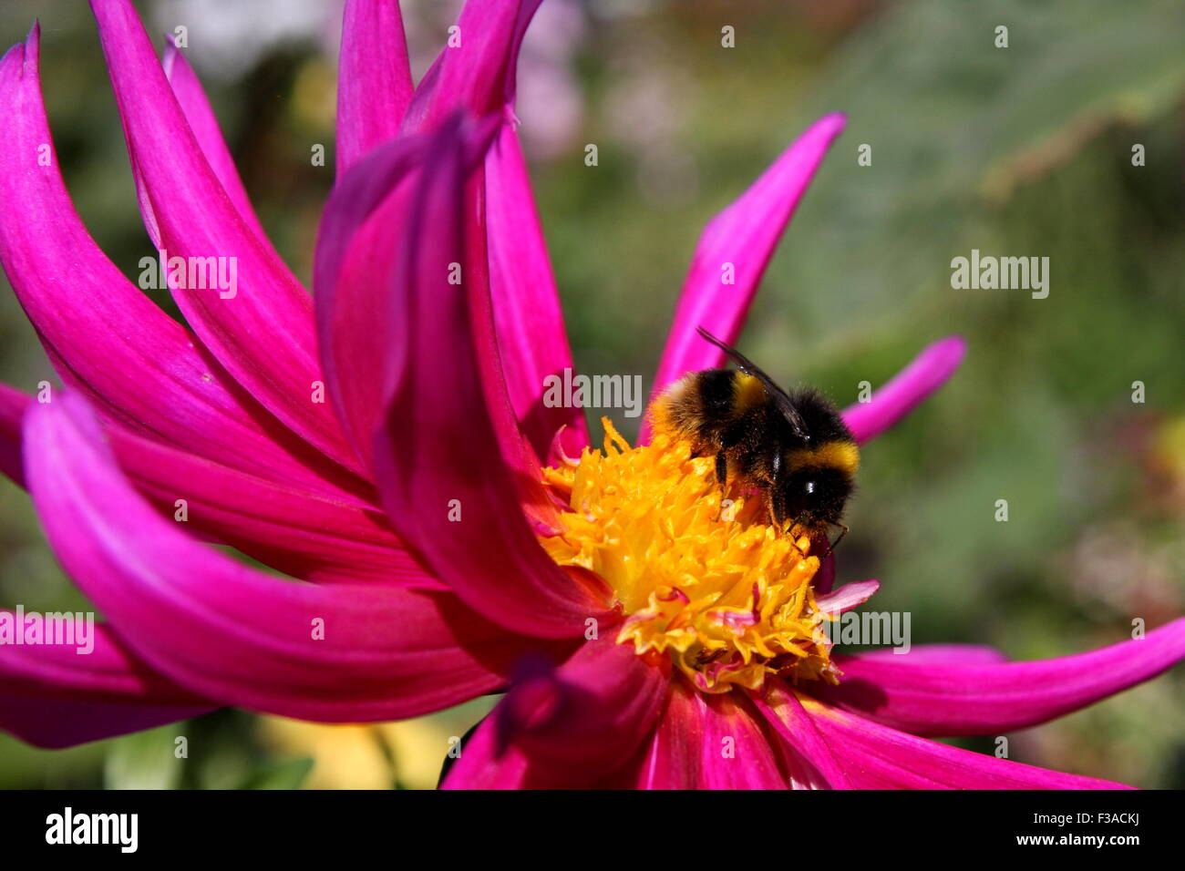 Bee collecting nectar on flower - Stock Image