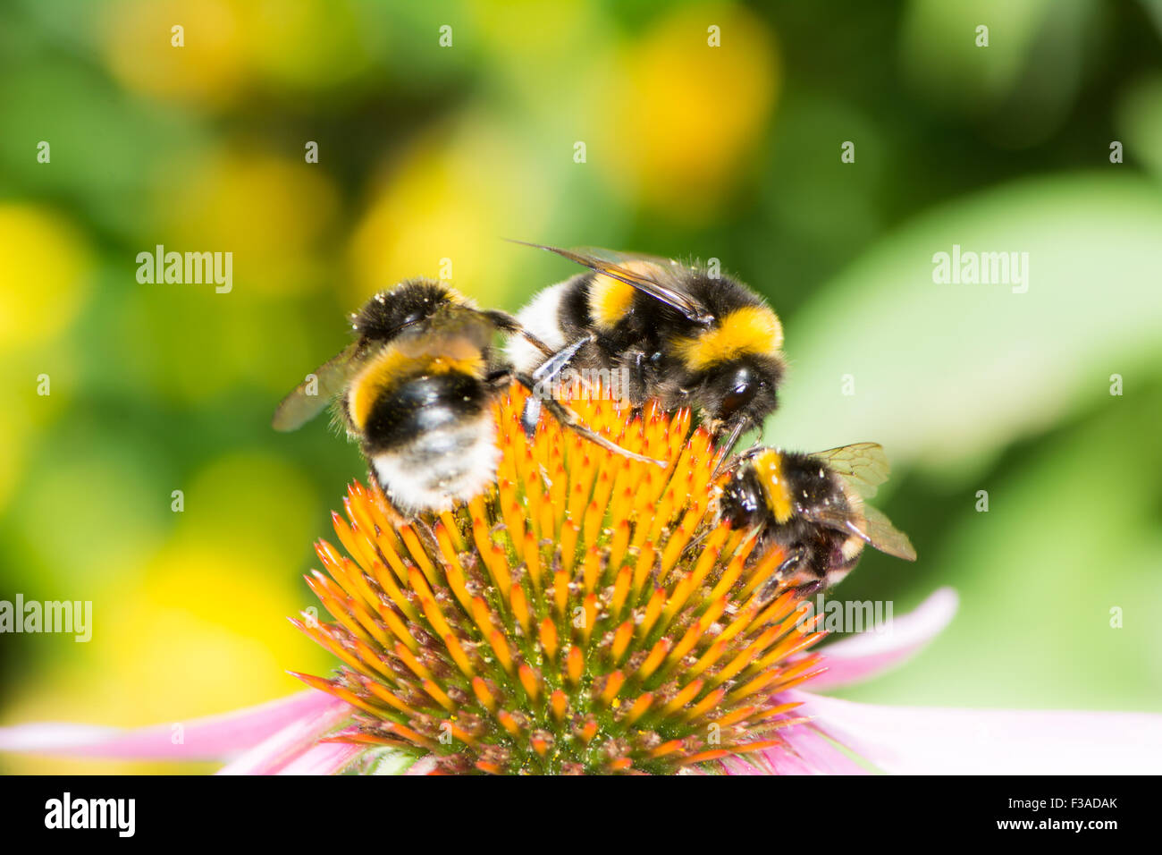 Three bumblebees on the blossom of an echinacea flower Stock Photo