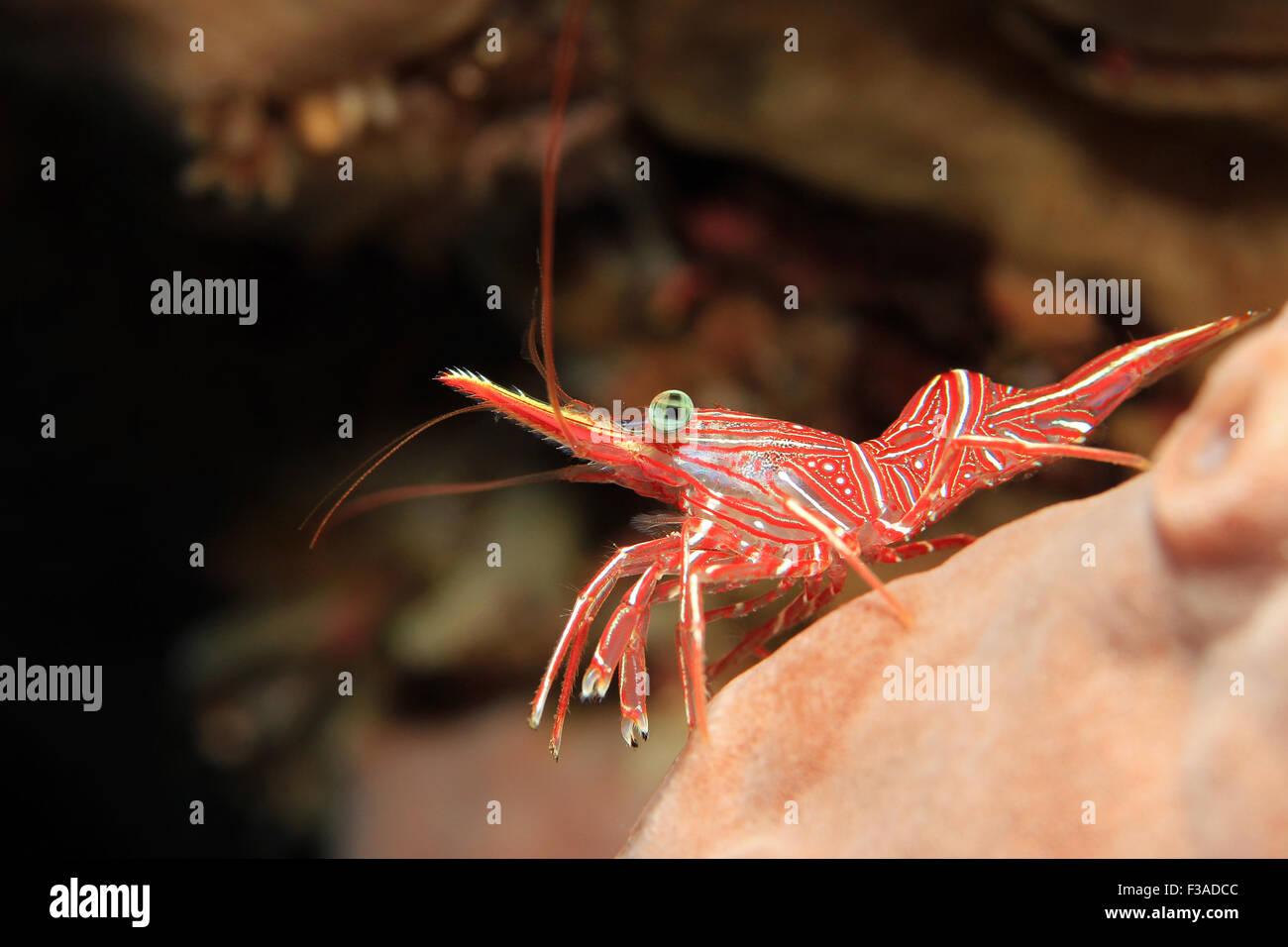 Durban Dancing Shrimp (Rhynchocinetes Durbanensis, aka Hingebeak Prawn, Hinge-beak Shrimp). Padang Bai, Bali, Indonesia Stock Photo