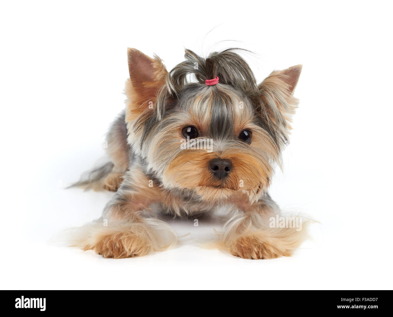 haircut yorkshire terrier lies on white background stock