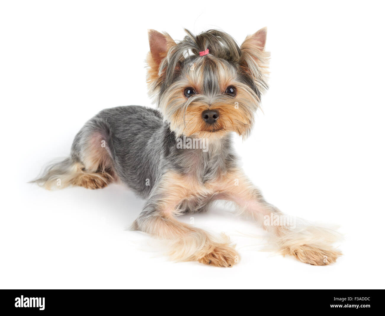Yorkshire Terrier With Short Hair Lies On White Background Stock