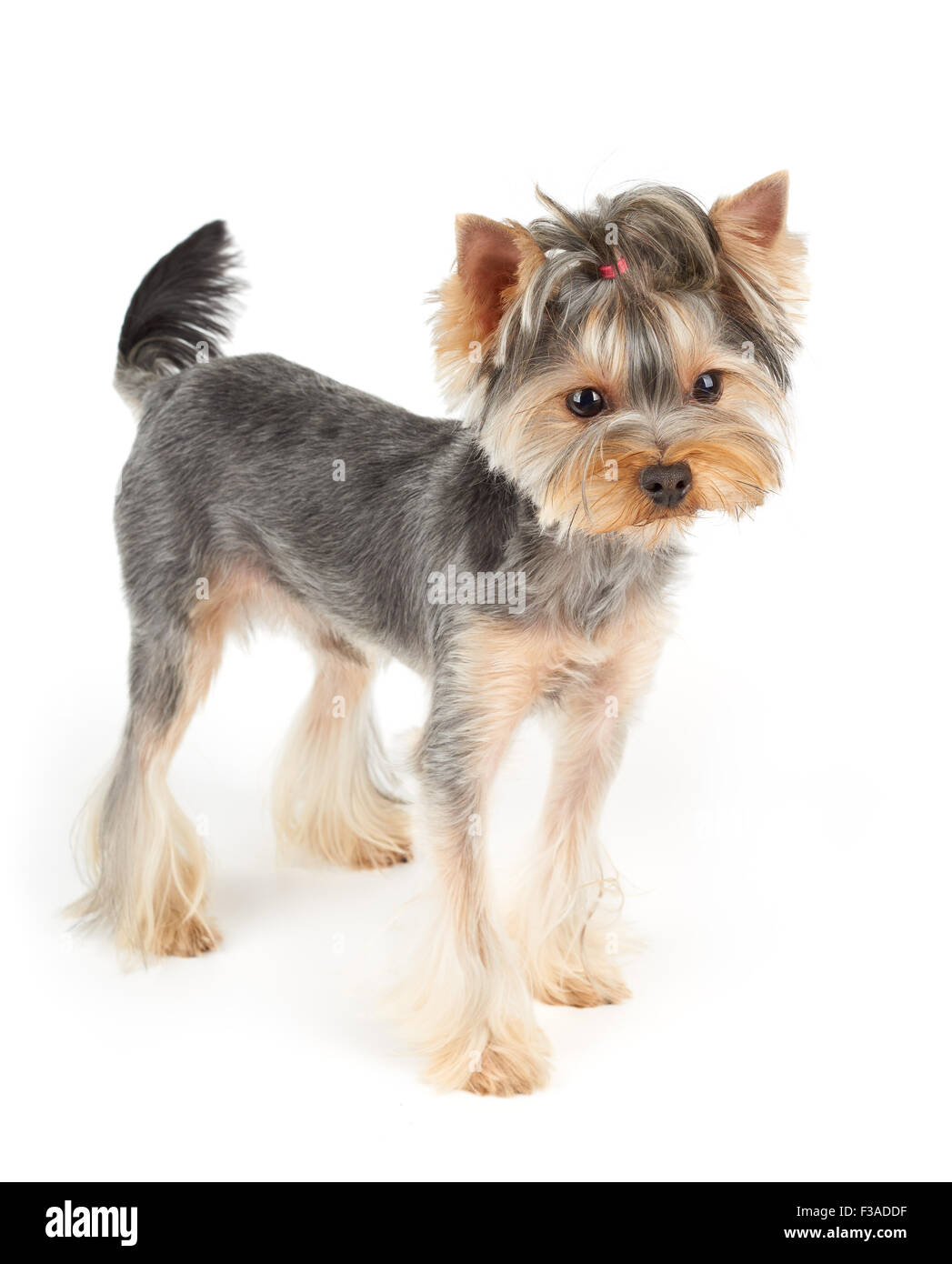 Yorkshire Terrier with short hair stands on white isolated
