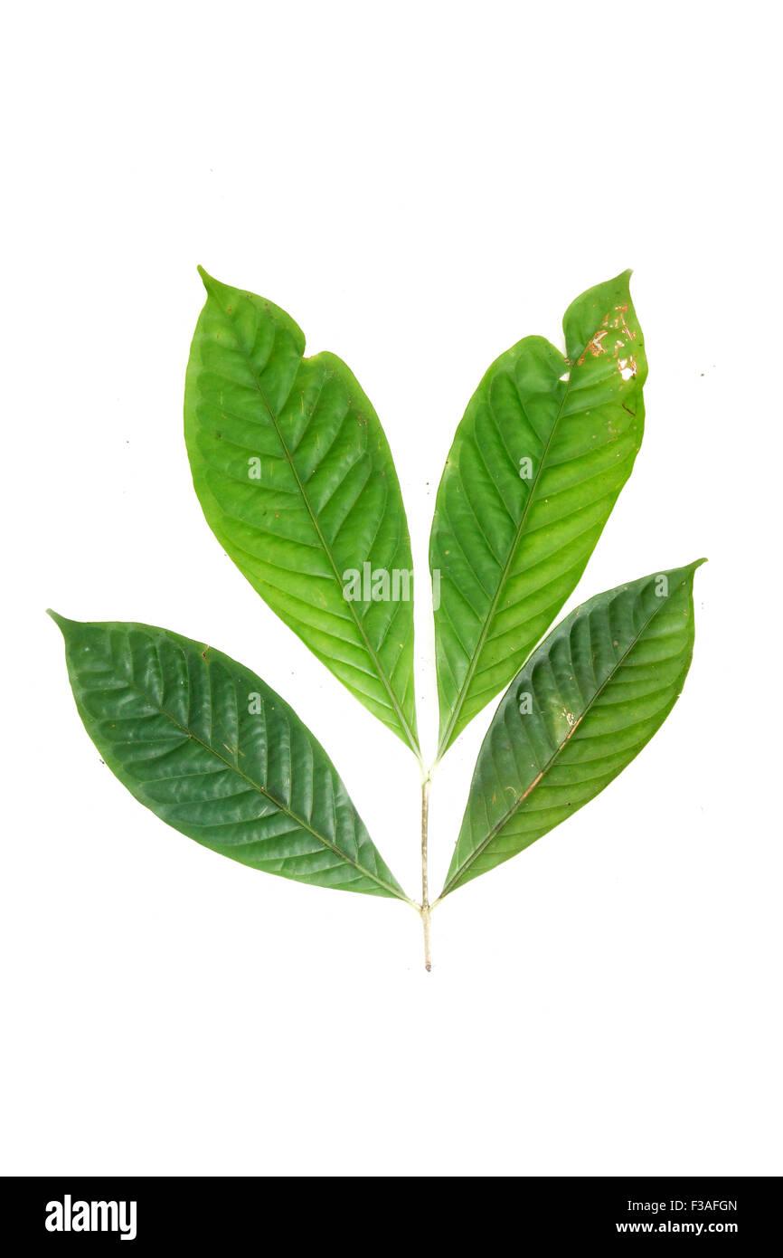 Kopsia pauciflora Apocynaceae  flora Borneo Malaysia - Stock Image
