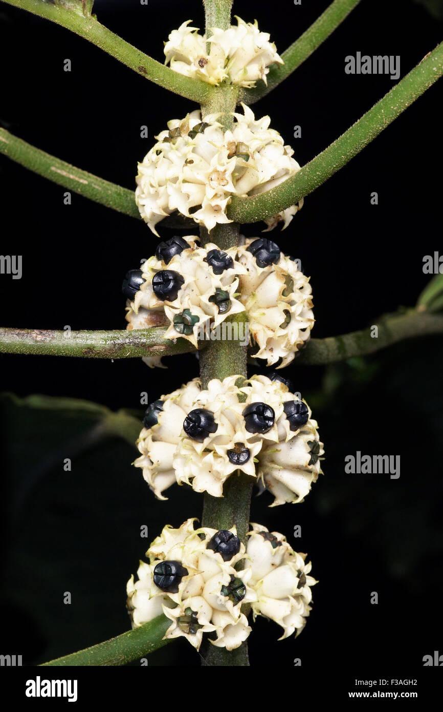 Asteraceae flora plant flower - Stock Image