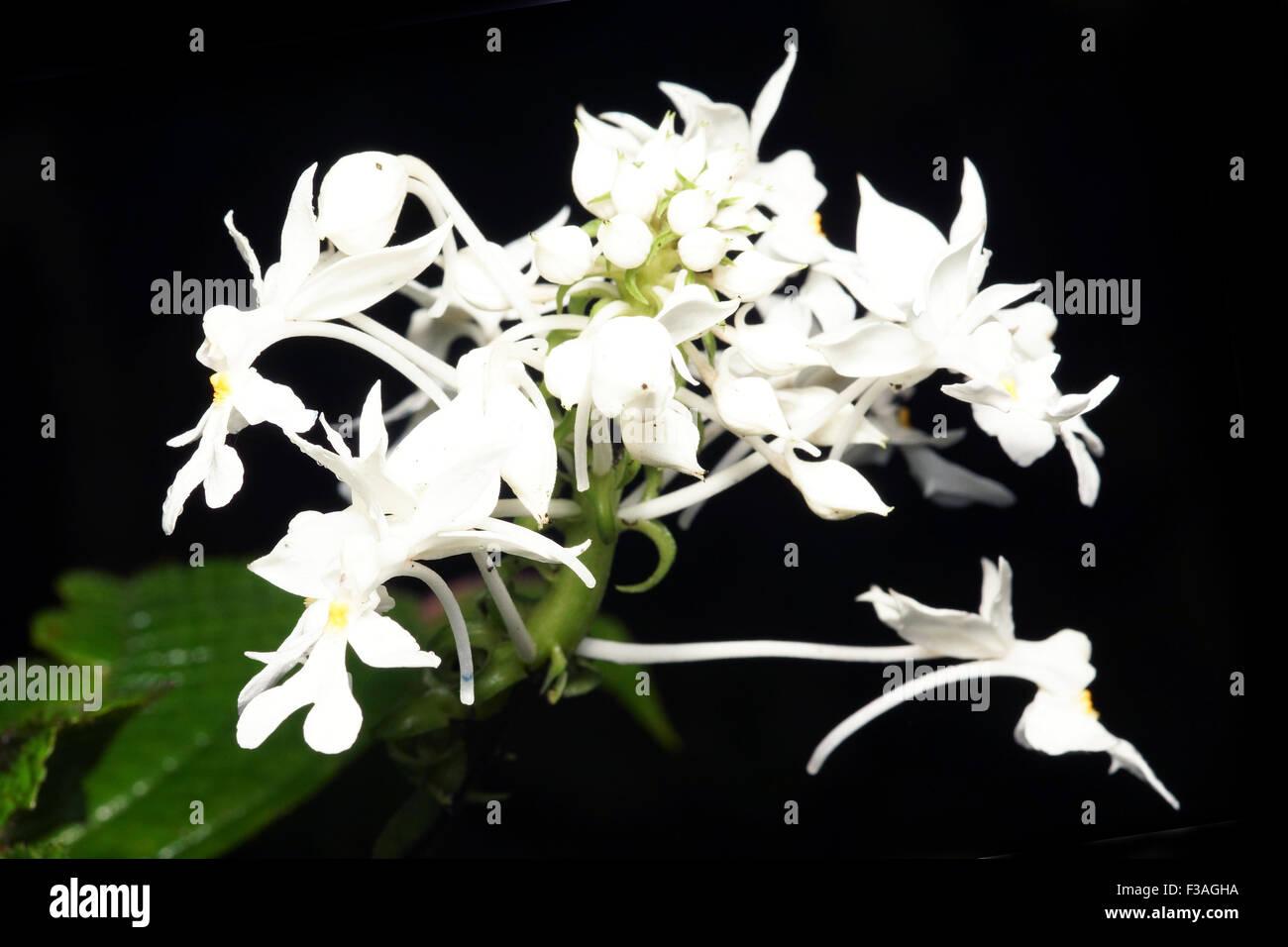 Calanthe sp Orchidaceae  flora plant flower - Stock Image