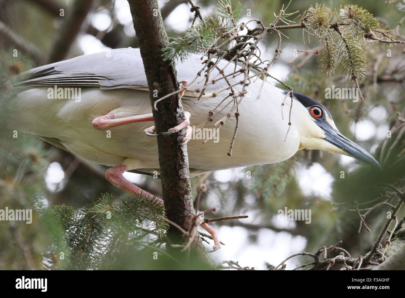 Heron up in a tree. - Stock Image