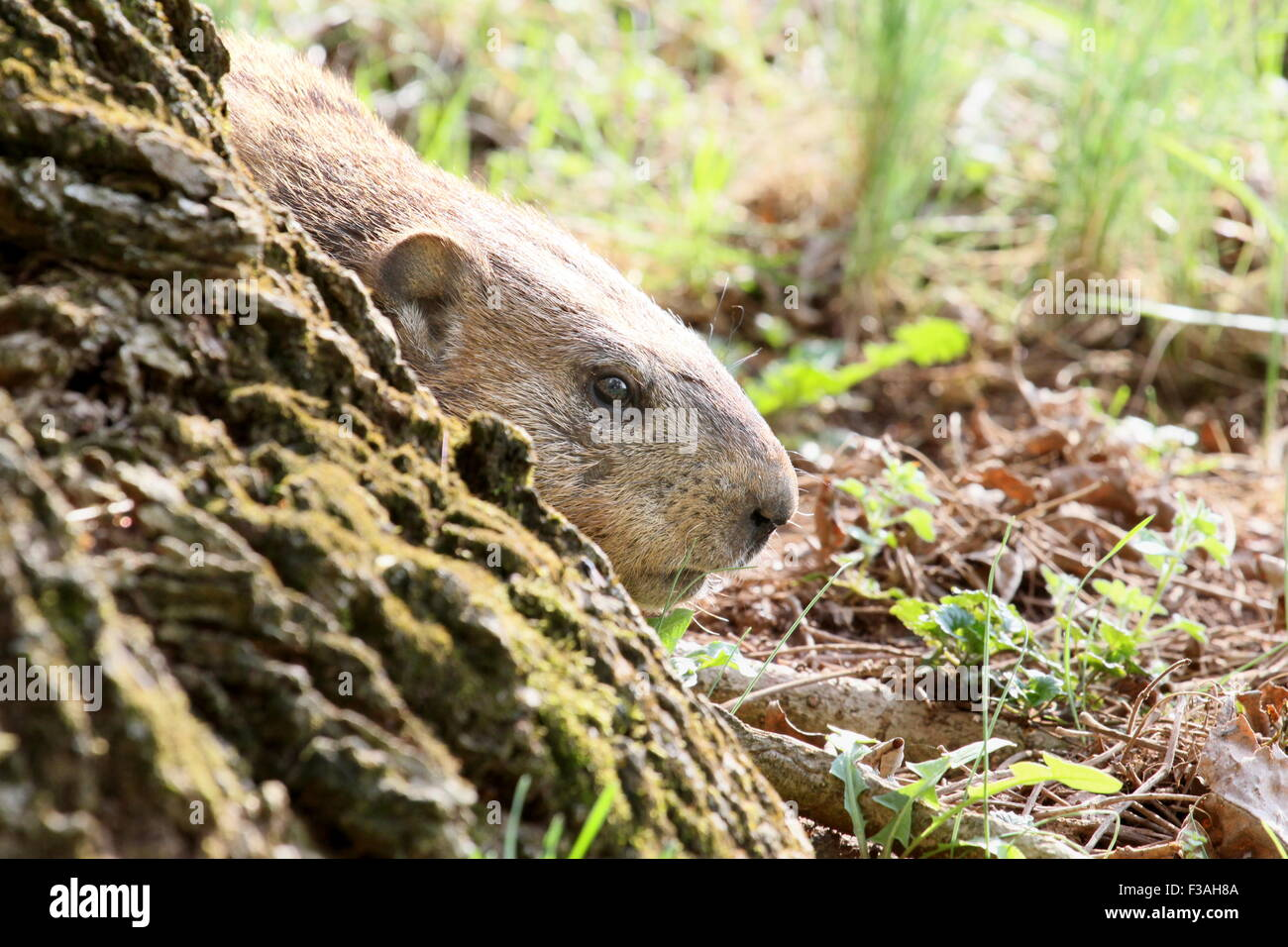 Groundhog peeking around a tree trunk. - Stock Image