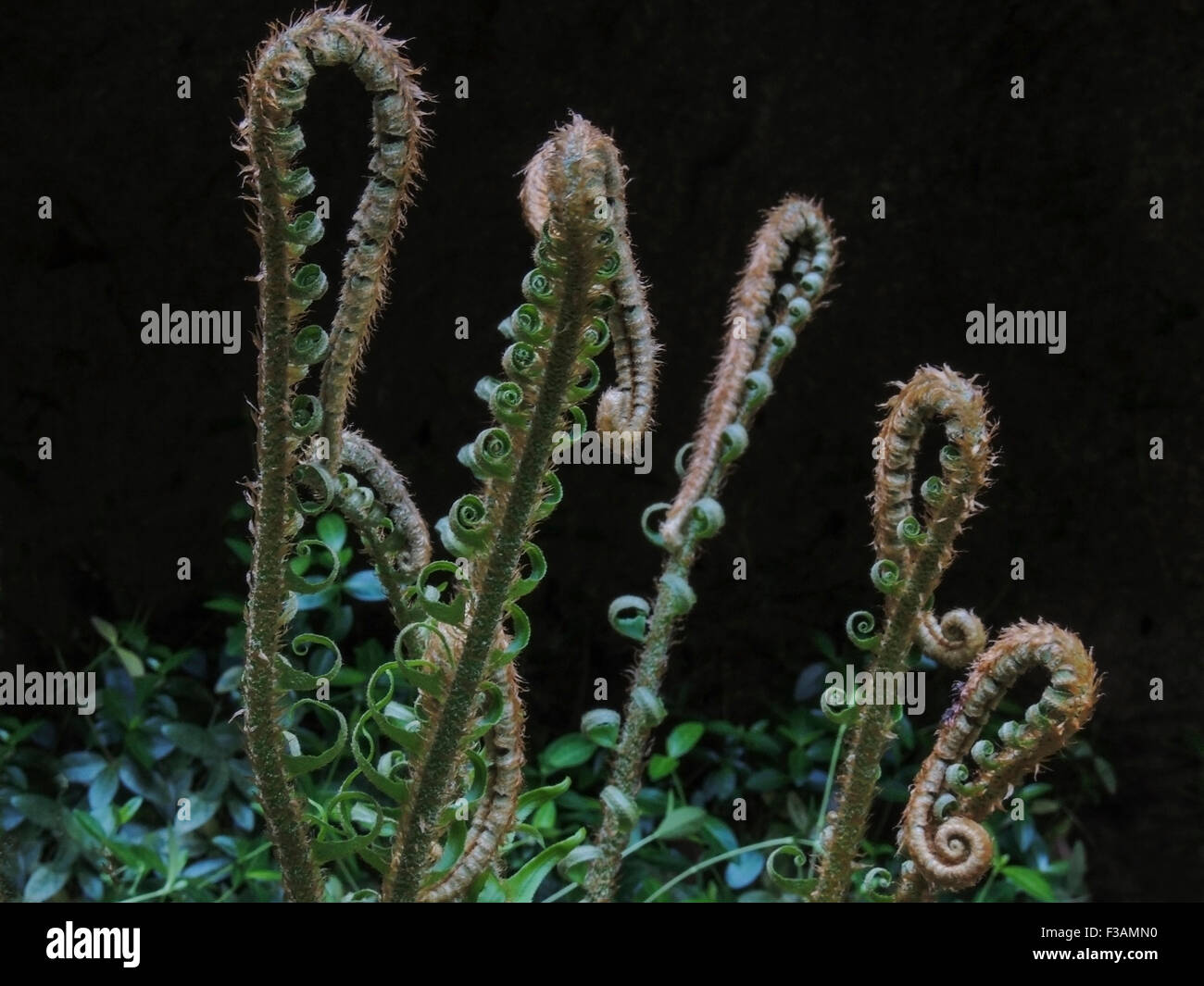 Fronds of the Western Sword Fern (Polystichum munitum) unfurl as spring turns to summer in the Sierra foothils of - Stock Image
