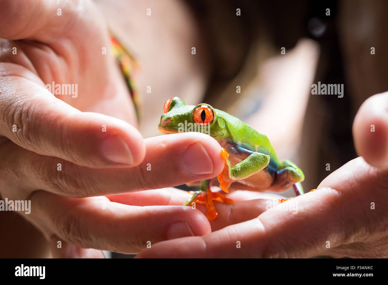 Costa Rica, Red Eyed Tree Frog in the hands of a guide in Tortuguero National Park - Stock Image