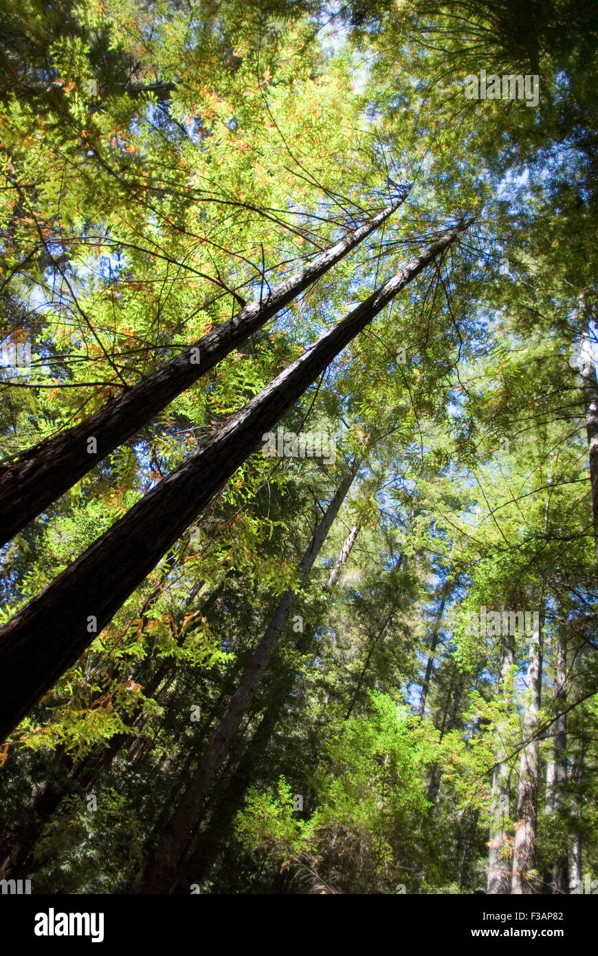 Trees in Big Basin Redwoods State Park, California Stock Photo