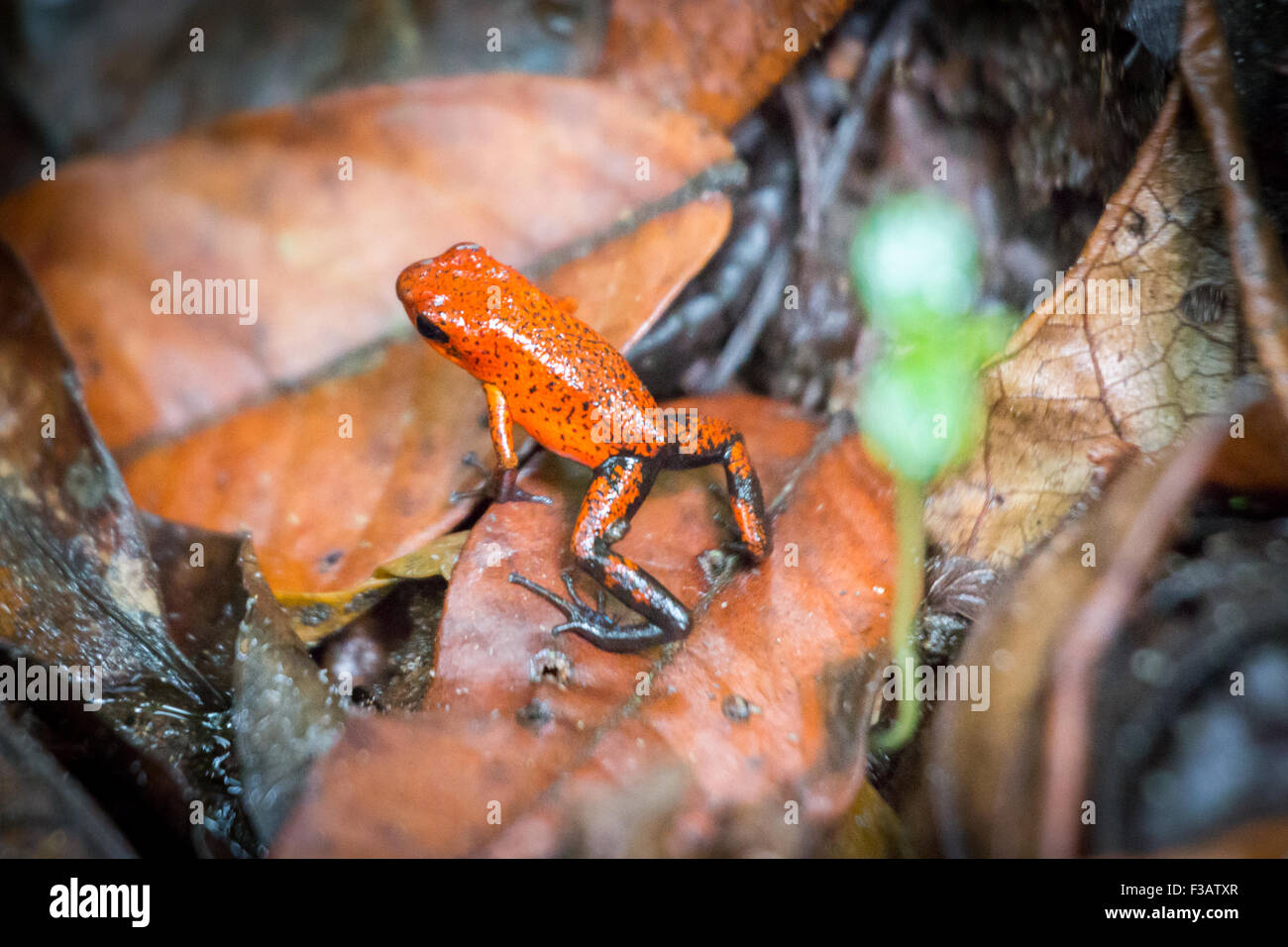 Costa Rica, Orange Poison Blue Jeans Frog - Stock Image