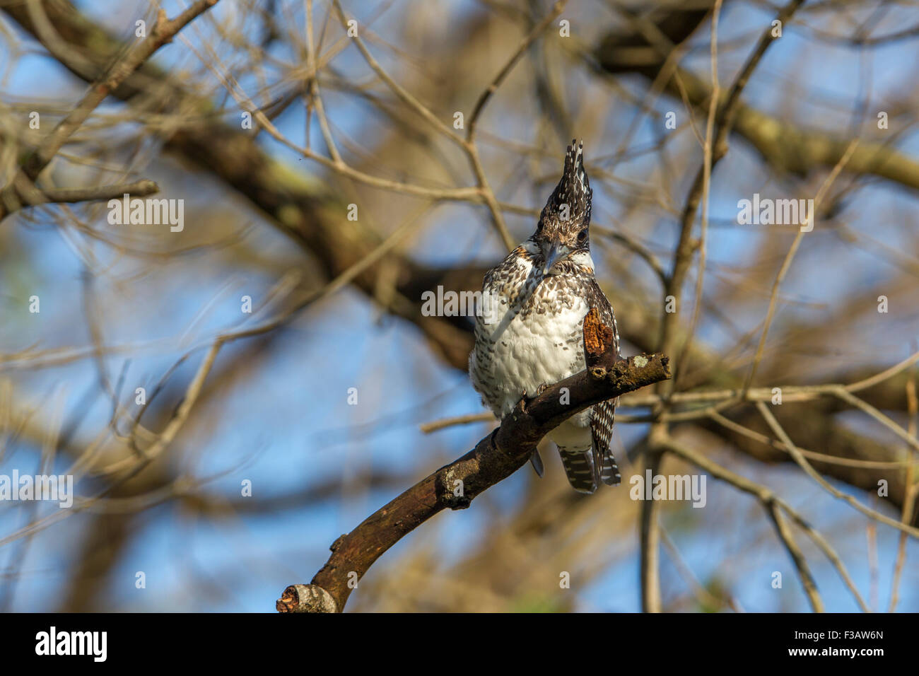Crested kingfisher on a branch at Jim corbett National Park, India. - Stock Image