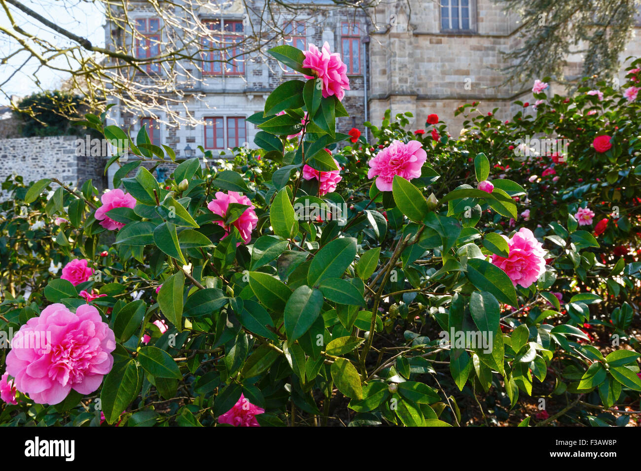 Blossoming Camellia Bush With Pink Flowers And Thick Leaves In Stock