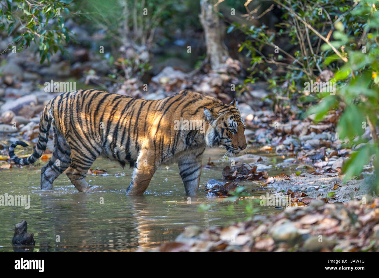 Sub adult Bengal Tiger Prowling at Jim Corbett National Park, India. ( Panthera Tigris ) - Stock Image