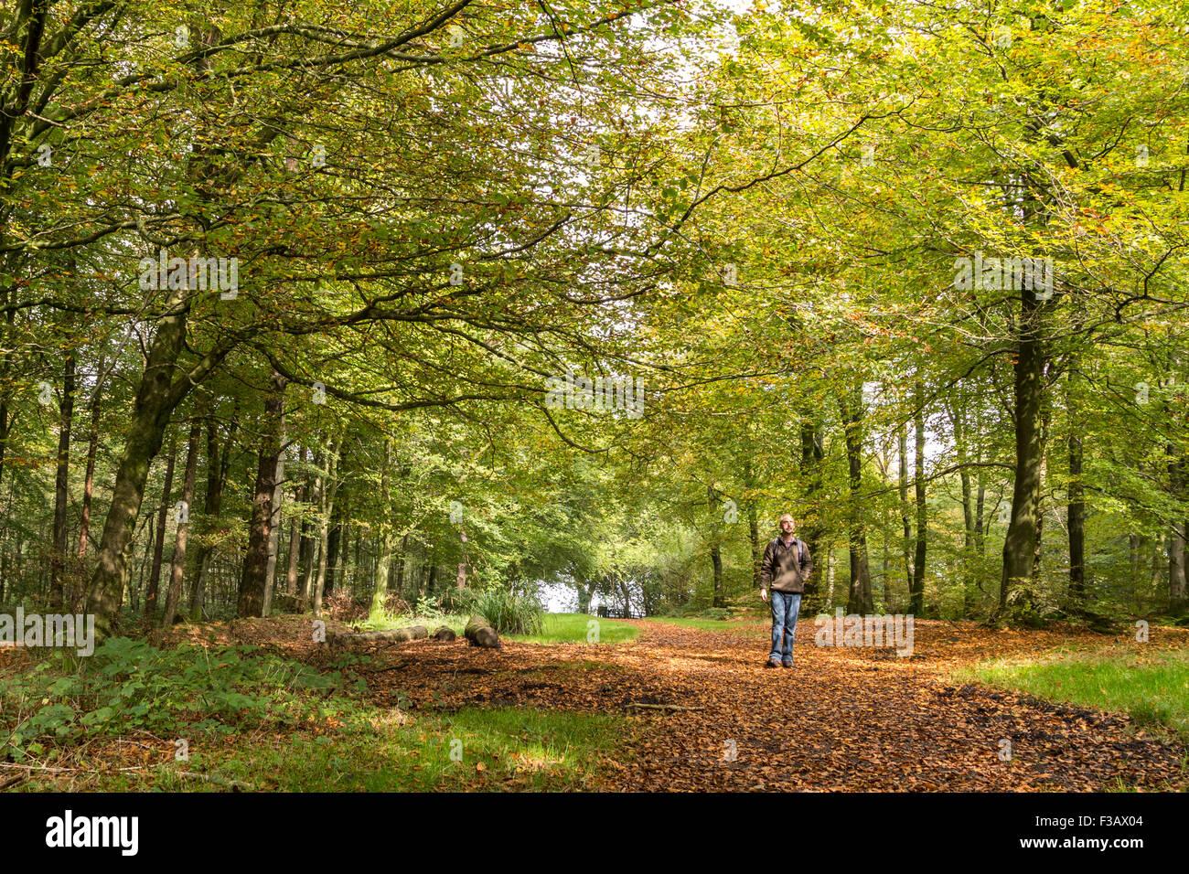 Beech Leaf Autumn Uk Stock Photos & Beech Leaf Autumn Uk Stock ...