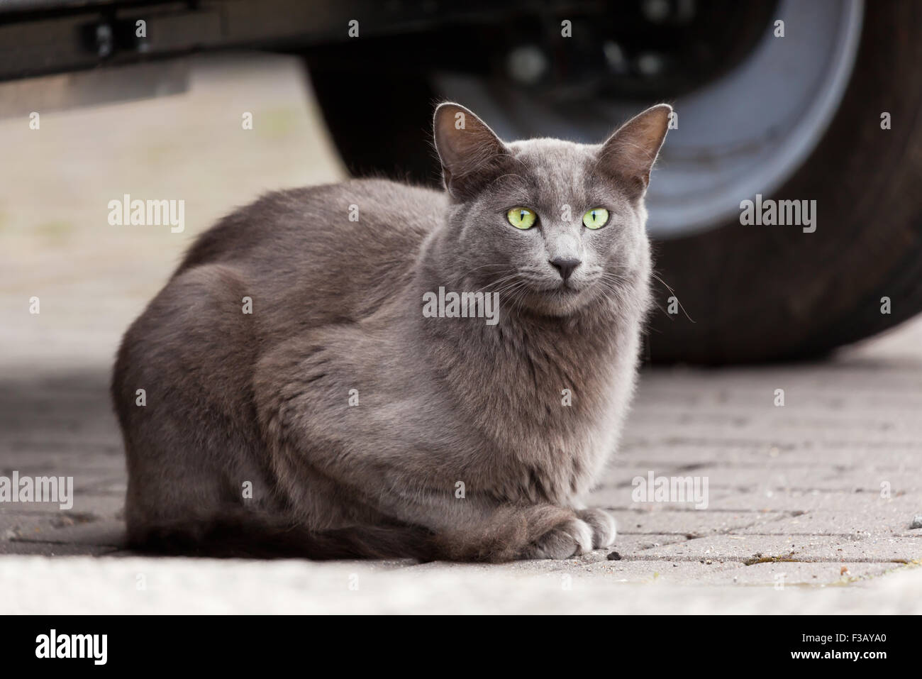 Gray cat with striking green eyes - Stock Image