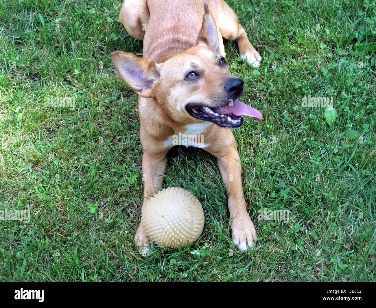 Smiling and panting Carolina dog playing with yellow ball on grass. - Stock Image