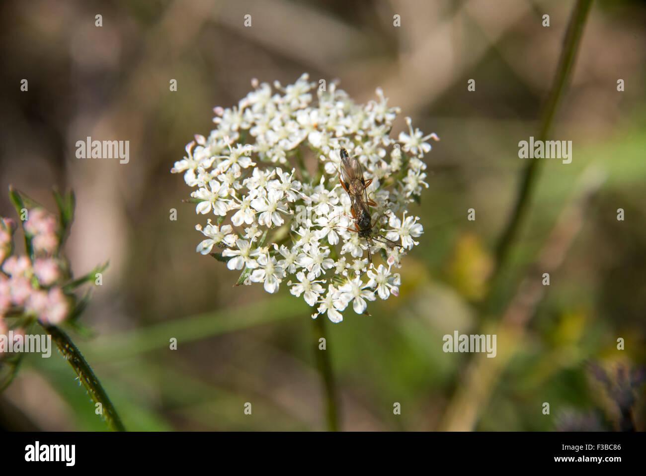 Hedgerow weeds stock photos hedgerow weeds stock images alamy white flower with bug stock image mightylinksfo