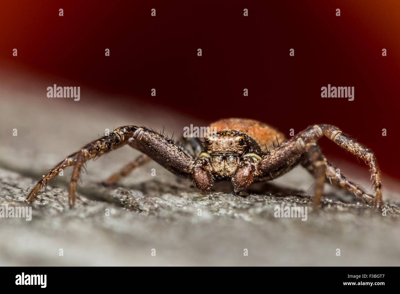 A male Xysticus sp. jumping spider - Stock Image