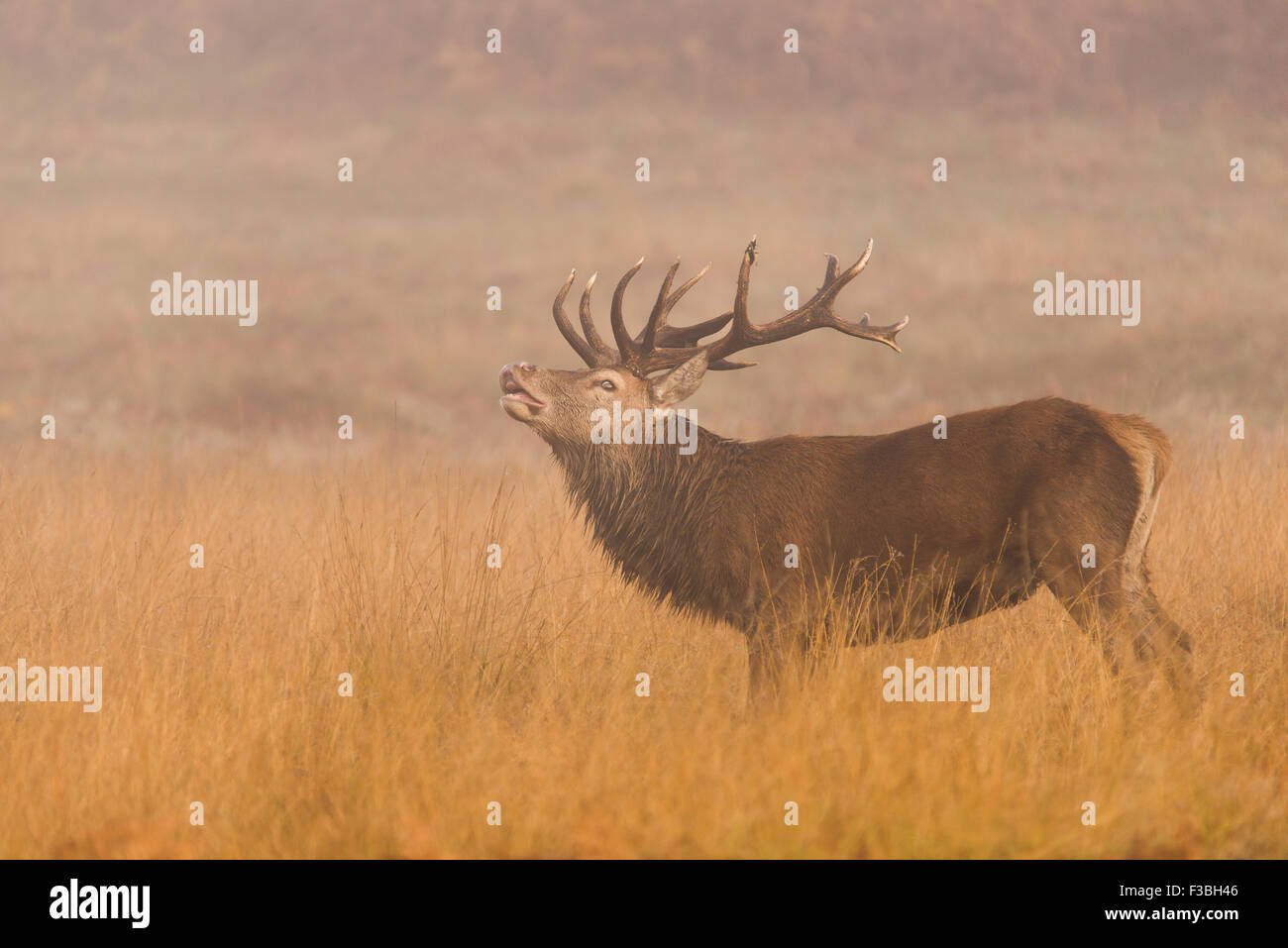 Large red stag in fog sniffing the air (flehmen response). - Stock Image