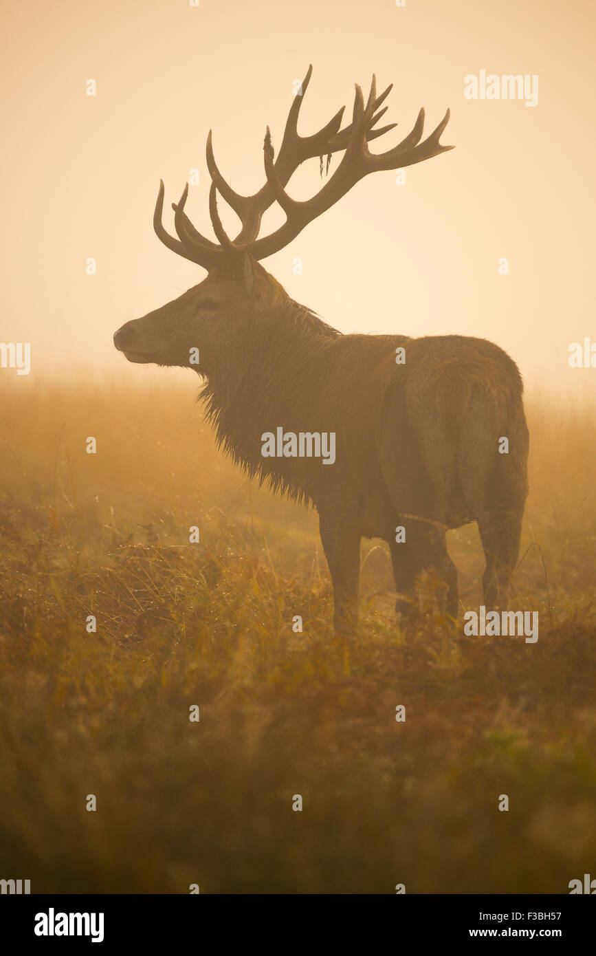 Large red deer stag in thick early morning fog. Stock Photo