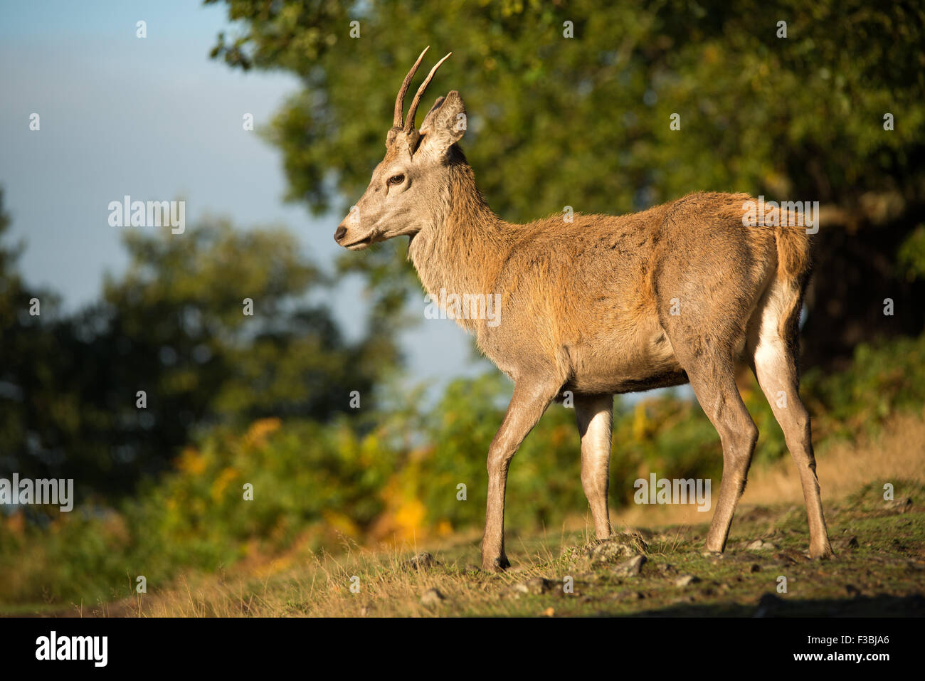 Young red deer stag in early morning light. - Stock Image