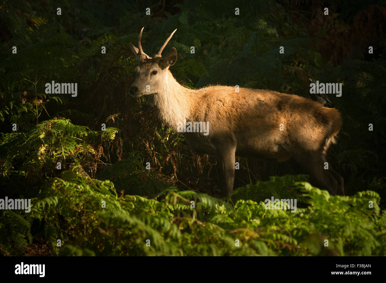 Young red deer stag being groomed by Jackdaw - Stock Image