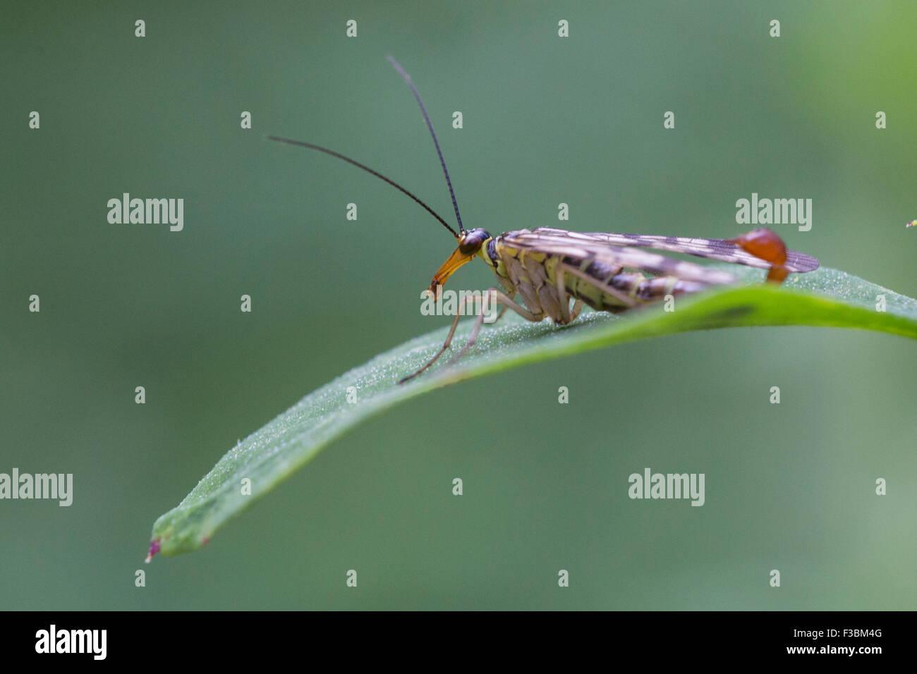 Male common scorpionfly (Panorpa communis) Stock Photo