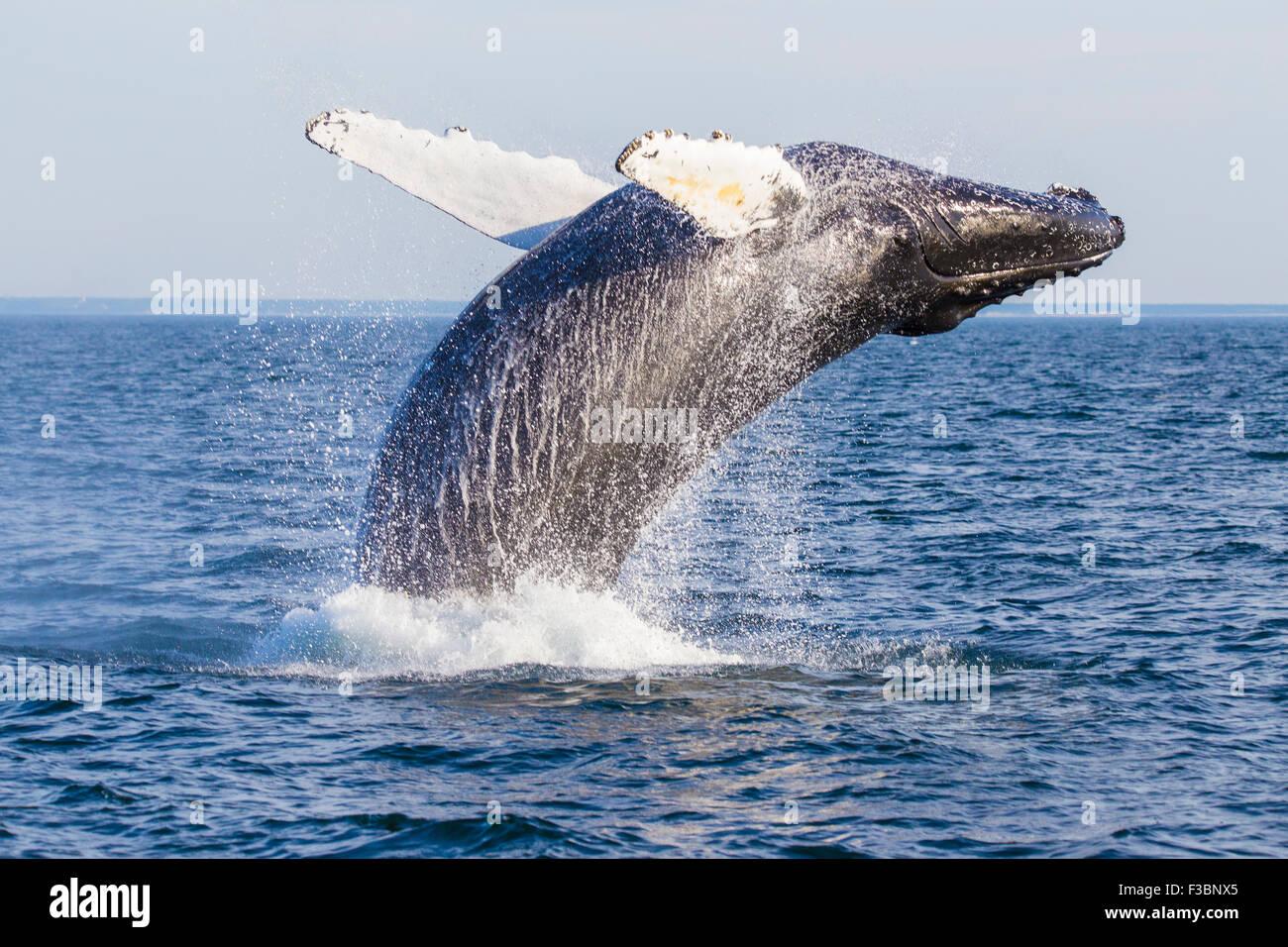 Humpback Whale (Megaptera novaeangliae) Breaching-Cape Cod, Massachusetts - Stock Image