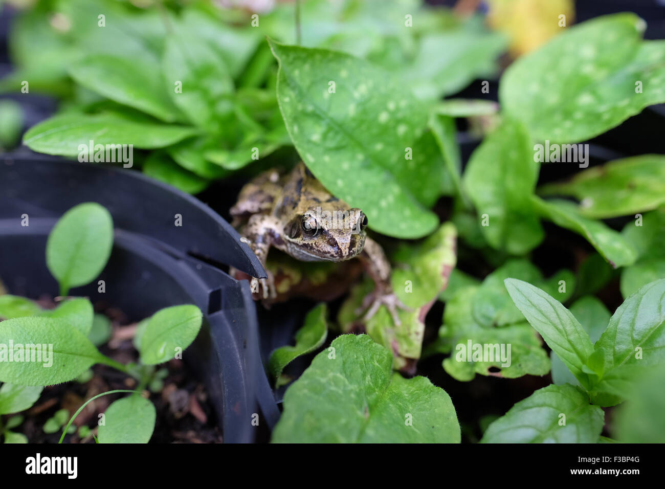frog in a garden - Stock Image
