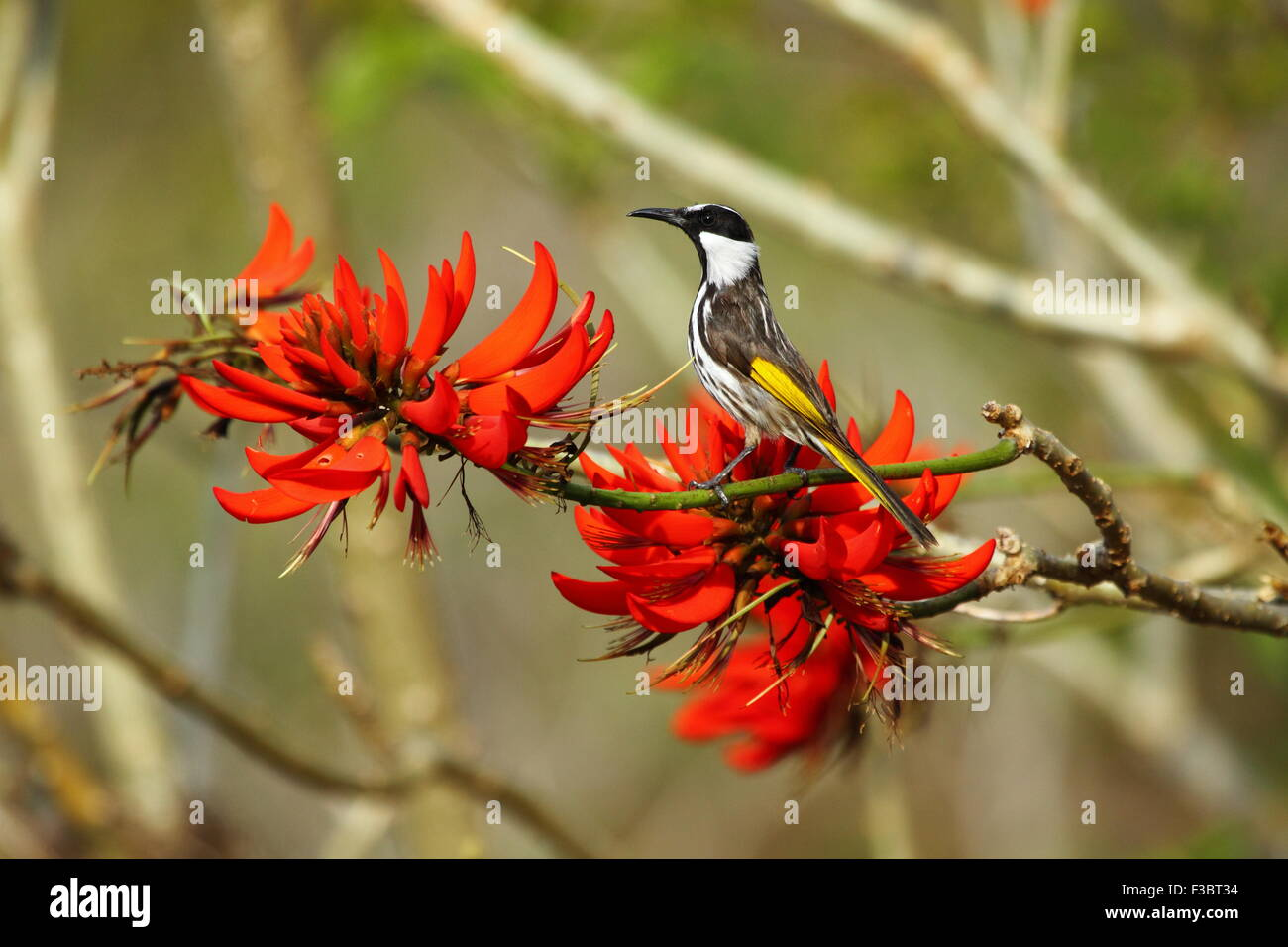 White-cheeked Honeyeater foraging on the nectar of a Coral Tree. - Stock Image
