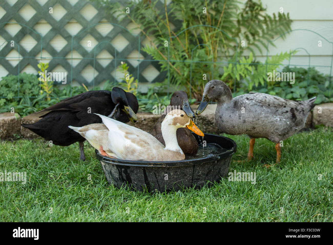 Four types of Indian Runner ducks (Anas platyrhynchos domesticus): White and Fawn, black, chocolate and blue. - Stock Image